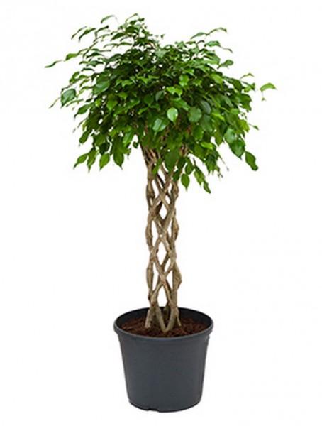 Ficus benjamina 130 cm zylinder Birkenfeige