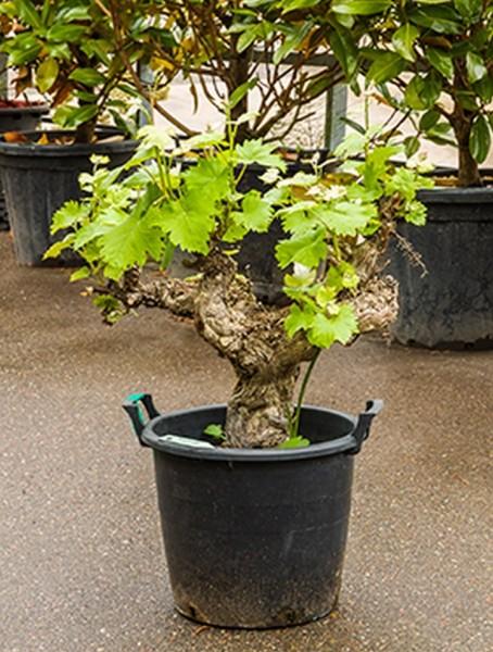 Vitis vinifera schwarz 90 cm