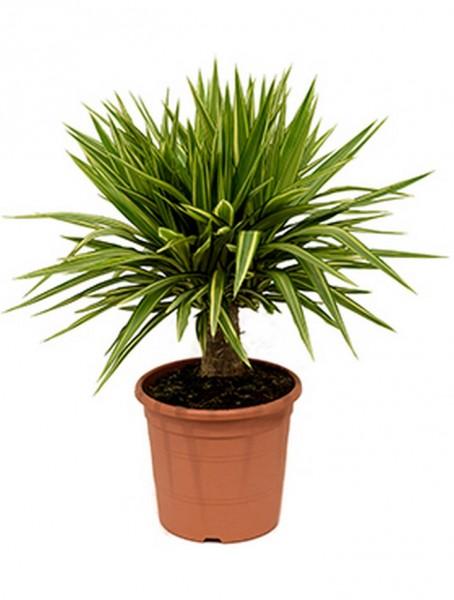 Yucca jewel 90 cm