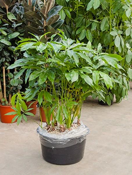 Philodendron fun bun 110 cm