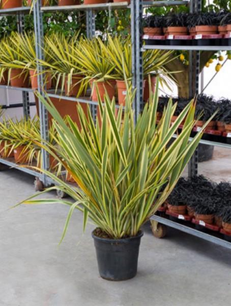 Phormium variegatum 100 cm