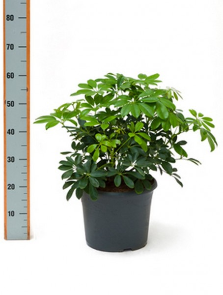 Schefflera arboricola Strahlenaralie Busch 60 cm