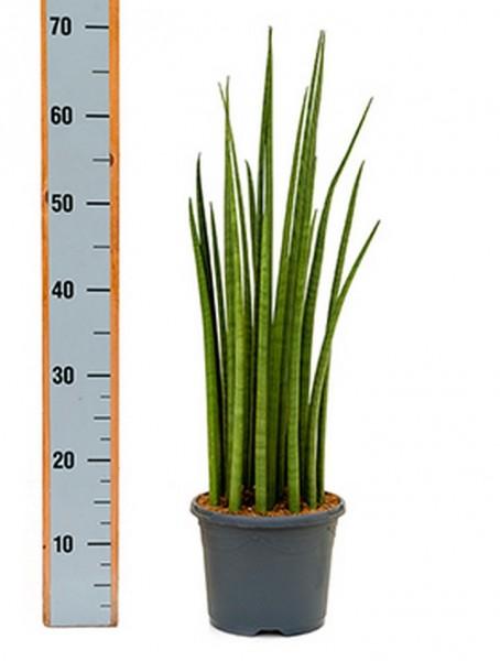 Sansevieria spikes 70 cm | Bogenhanf