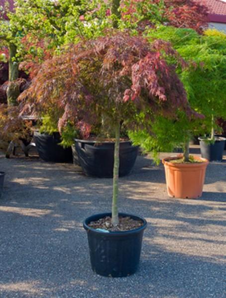 Acer diss atropurpureum 190cm