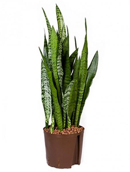 Sansevieria zeylanica 70 cm | Hydrokultur