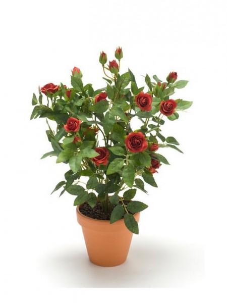 Rose mini cabbage bush dunkelrot 35cm
