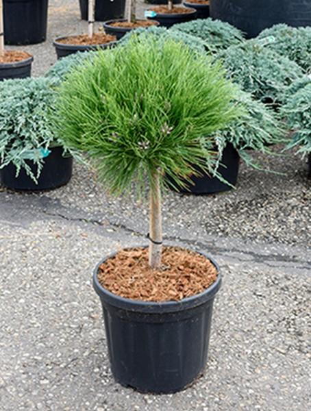 Pinus marie bregeon 70cm