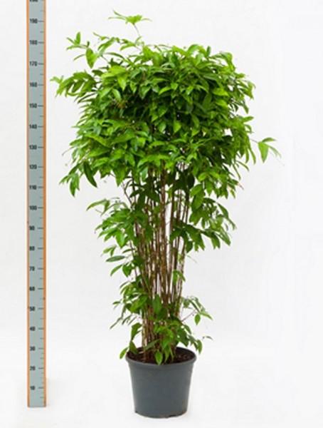 Dracaena surculosa 200 cm - Drachenbaum Busch