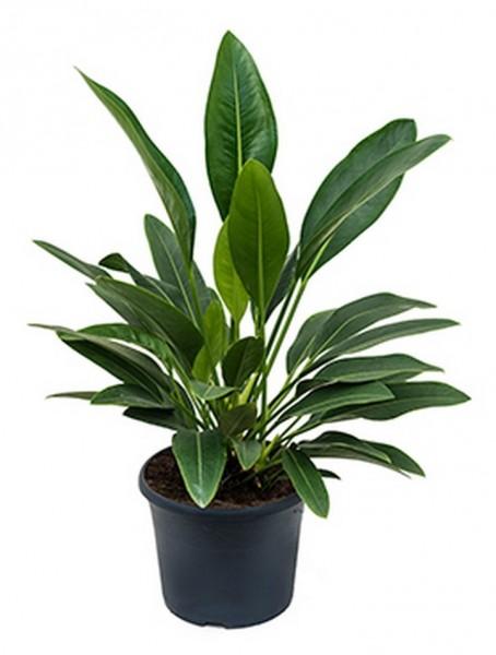 Anthurium willdenowii 70 cm