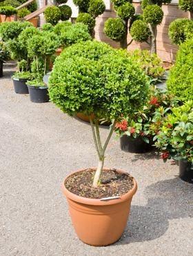 Buxus sempervirens 120 cm - Buchsbaum Verzweigt 2 Kugeln