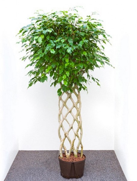 Ficus benjamina 170 cm | Birkenfeige Hecke
