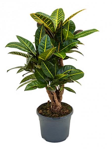 Croton petra 70 cm - Wunderstrauch