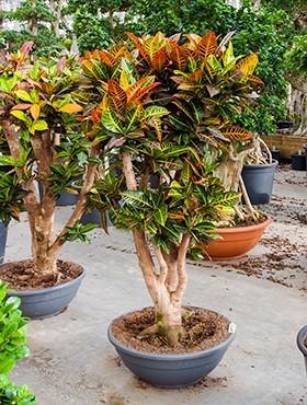 Croton petra 160 cm | Wunderstrauch Bonsai