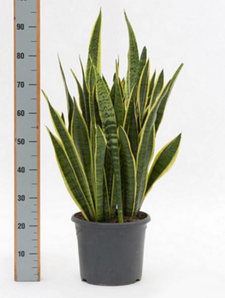 Sansevieria laurentii 80 cm