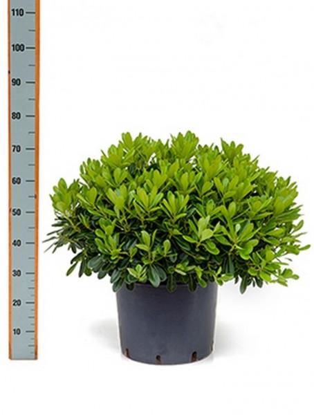 Pittosporum tobira nana 55 cm