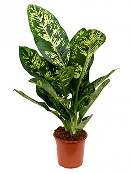 Dieffenbachia crown 90 cm