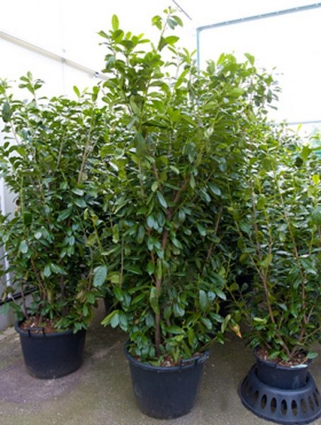 Prunus novita 220 cm