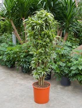 Dracaena surprise 180 cm - Drachenbaum Verzweigt