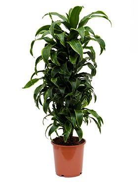 Dracaena ulises | Drachenbaum verzweigt 90vm