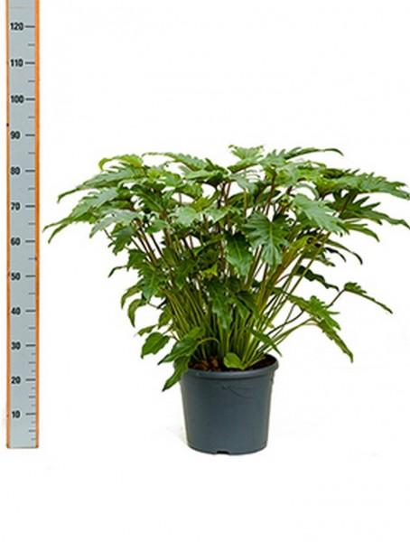 Philodendron xanadu 80 cm | Busch