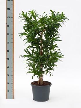 Pleomele song of costa rica 100 cm - Drachenbaum