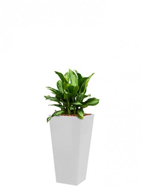 Standard Runner Pflanzkübel eckig weiss bepflanzt mit Aglaonema silver