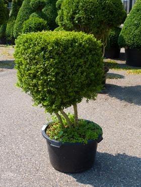 Buxus sempervirens 120 cm - Buchsbaum Multistam Kubus