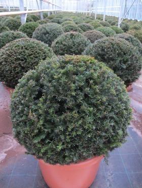 Taxus baccata | Eibe Kugel