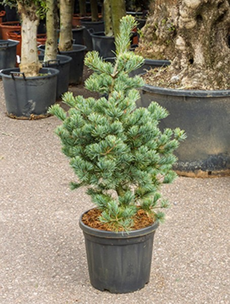 Pinus parvifolia negishi 105cm