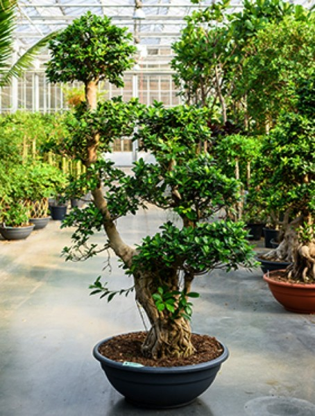 Ficus microcarpa compacta Bonsai 200-220 cm