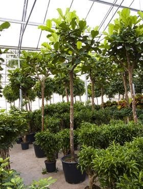 Ficus lyrata 500 cm