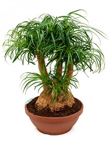 Beaucarnea recurvata - Flaschenbaum verzweigt 80 cm