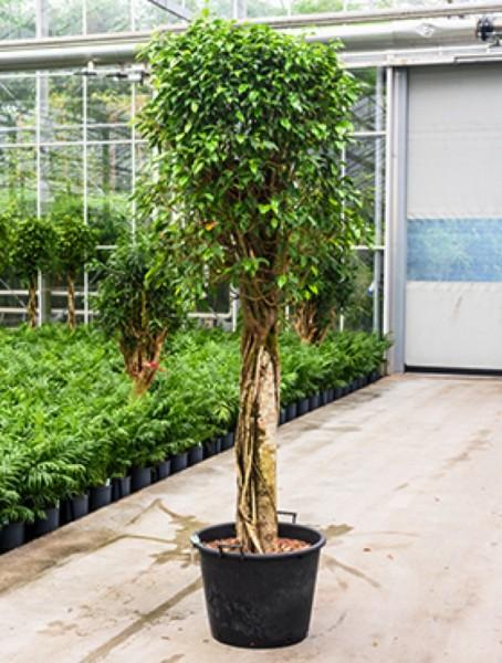 Ficus benjamina columnar 240 cm Hydrokultur