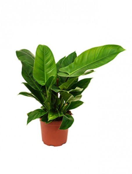 Philodendron imperial green 60cm