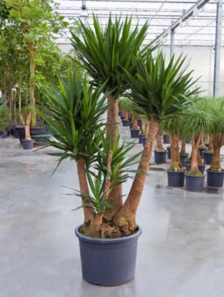Yucca elephantipes 240 cm | verzweigt