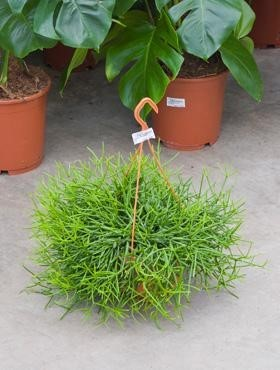 Rhipsalis heteroclada 40 cm | Hängekorb