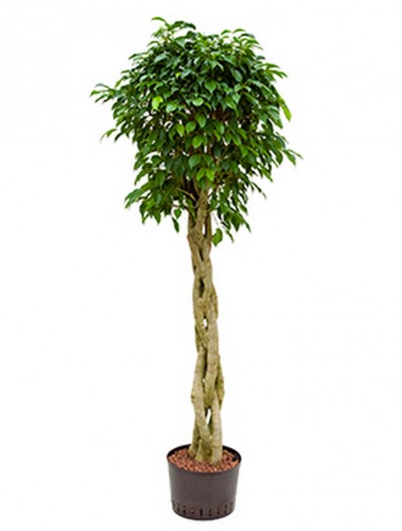 Ficus benjamina columnar 180 cm | Birkenfeige geflochten