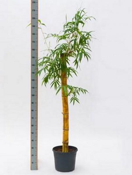 Bambusa vulgaris 160 cm - Gold Bambus