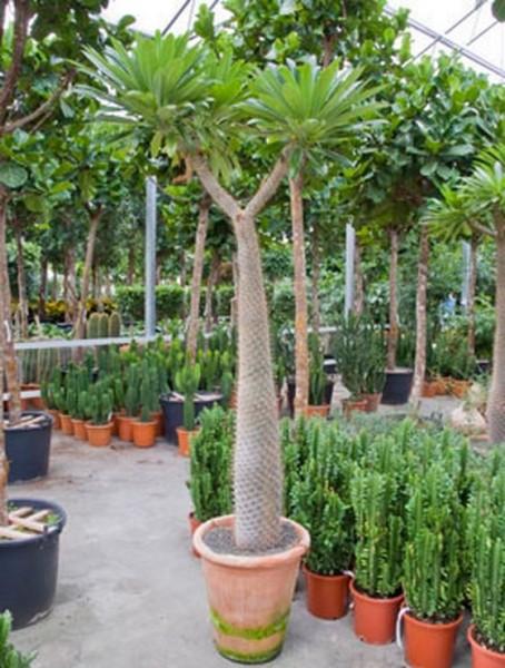 Pachypodium geayi 190 cm - Madagascar Palme