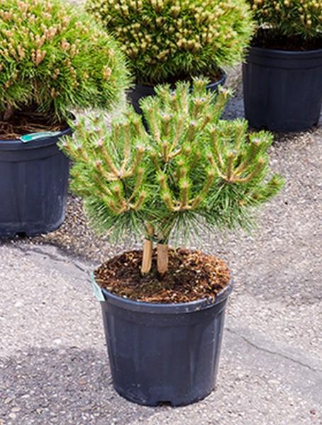 Pinus nigra brepo 70 cm