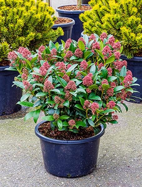Skimmia japonica rubella 70 cm