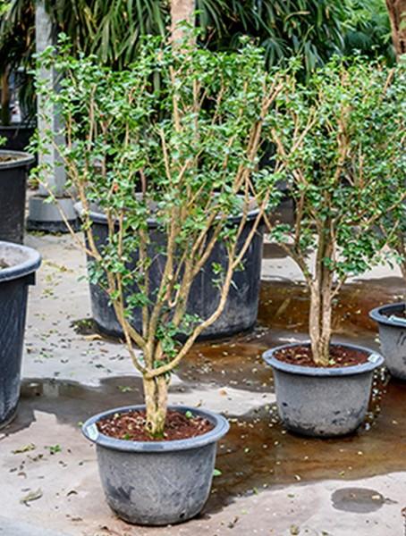 Murraya paniculata 150 cm