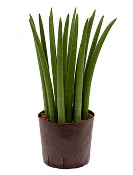 Sansevieria cylindrica straight 55 cm | Hydrokultur
