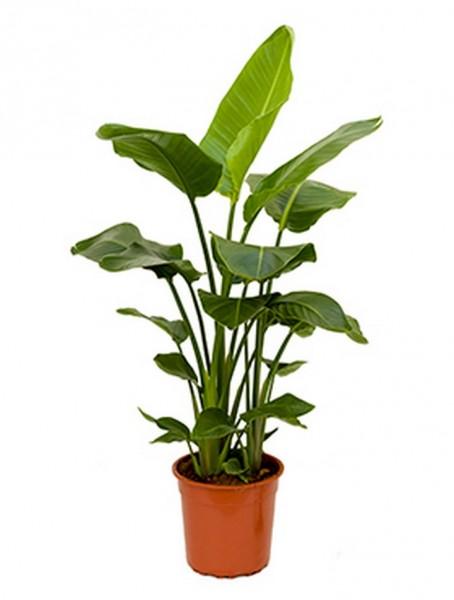 Strelitzia nicolai 100 cm