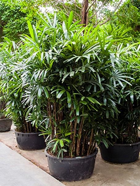 Rhapis-excelsa-270-cm-busch