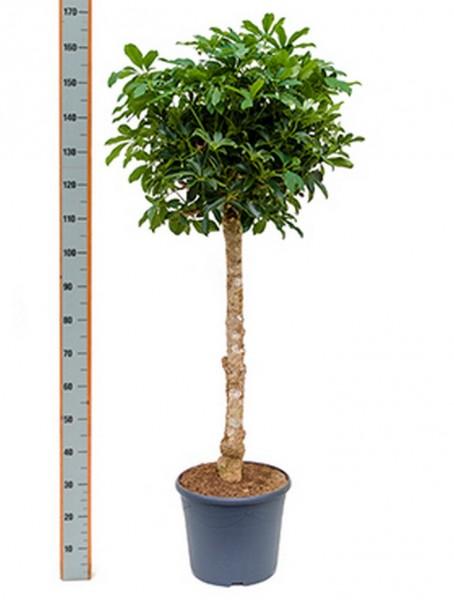Schefflera arboricola Strahlenaralienbaum 150 cm