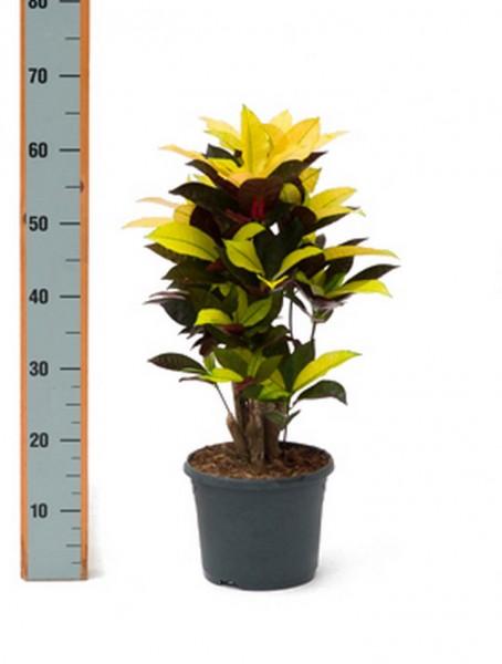 Croton iceton 50cm