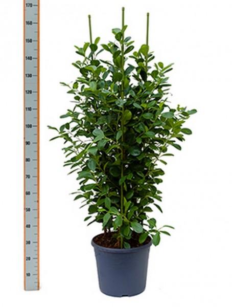 Ficus moclame 140 cm Busch