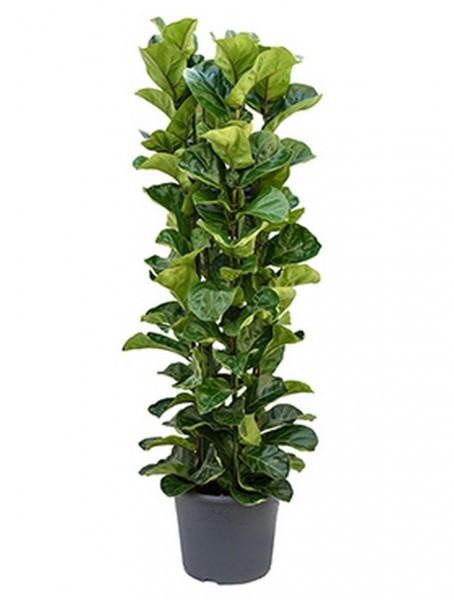 Ficus lyrata bambino 150 cm | Geigenfeigenbusch