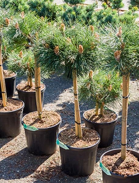Pinus nigra brepo 100 cm